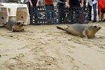 Ausgewilderte Seehunde