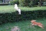 Hund versucht durch eine Hecke zu springen