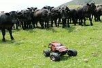 Ferngesteuertes Auto führt eine Kuhherde