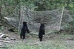 Zwei Bären klettern in eine Hängematte