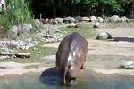 Ein Nilpferd lässt Druck ab