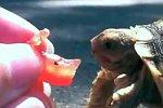 Schildkröte versucht eine Tomate zu fressen