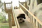 Pandas spielen auf einer Rutsche