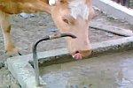 Eine Kuh hat Durst