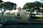 Vogel auf dem Scheibenwischer