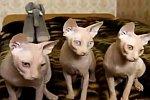 Synchrone Katzen