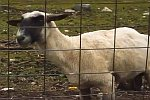 Schreiendes Schaf