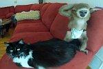 Ein Gibbon spielt mit einer Katze