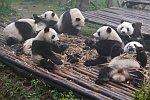 Pandas beim Fressen