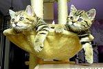 Zwei Katzen gucken Tennis