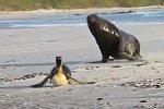 Seelöwe jagt Pinguine