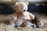 Fohlen schläft bei einem Teddybär