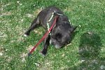 Bulldogge erschreckt sich vor seinen Fürzen