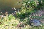 Schildkröte springt ins Wasser