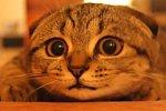 Scottish Fold Katze beobachtet ihre Umgebung