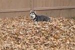 Hund spielt im Laubhaufen