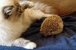 Katze setzt sich auf einen Igel