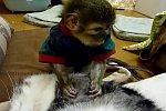 Affe laust eine Katze
