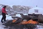Seeelefanten zerstören ein Zelt