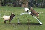 Ziegen balancieren auf einem Blech