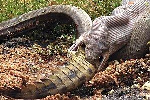 Schlange frisst Krokodil