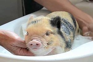 Minischwein-Compilation