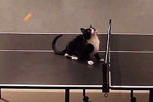 Katze spielt Tischtennis