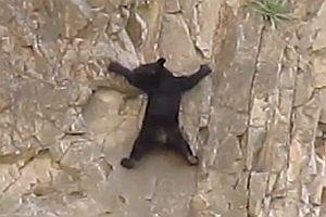 Bär klettert Felswand hoch