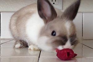 Kaninchen frisst eine Himbeere