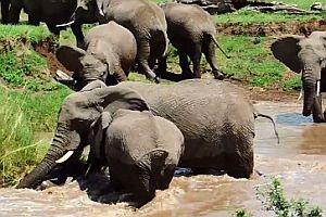 Elefantenkalb wird vor dem Ertrinken gerettet