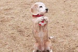 Hund fängt Bälle mit seinen Pfoten