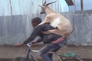 Ziege auf dem Rück eines Radfahrers