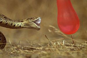 Giftschlange beißt zu