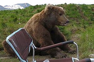 Braunbär schaut einem Fotografen zu