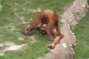 Affe pinkelt sich in den Mund