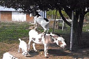 Ziege nutzt Esel als Leiter