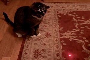 Katze mit Laserpointer auf dem Kopf