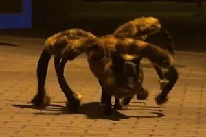 Spinnen-Hund erschreckt die Leute