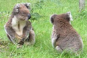 Kampf der Koalas