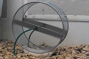 Hamster unter einem Laufrad