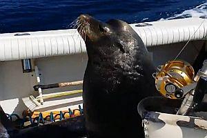 Seelöwe geht an Bord