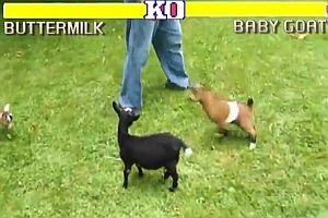 Street Fighter mit Schafen und Ziegen