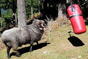Schafbock kämpft mit einem Boxsack