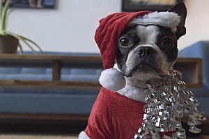 Weihnachtshund fährt durchs Haus