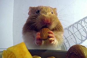 In den Backentaschen eines Hamsters
