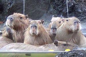 Wasserschweine nehmen ein warmes Bad