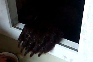 Bär durchs offene Fenster füttern