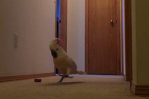 Kakadu rennt über den Flur