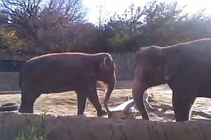 Elefant will unbedingt einen Stock zerbrechen