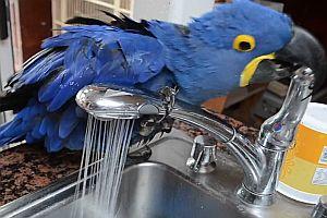 Papagei wäscht sich unterm Wasserhahn